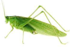 green-grasshopper-images-cool-wallpaper-animalplanethd-com_
