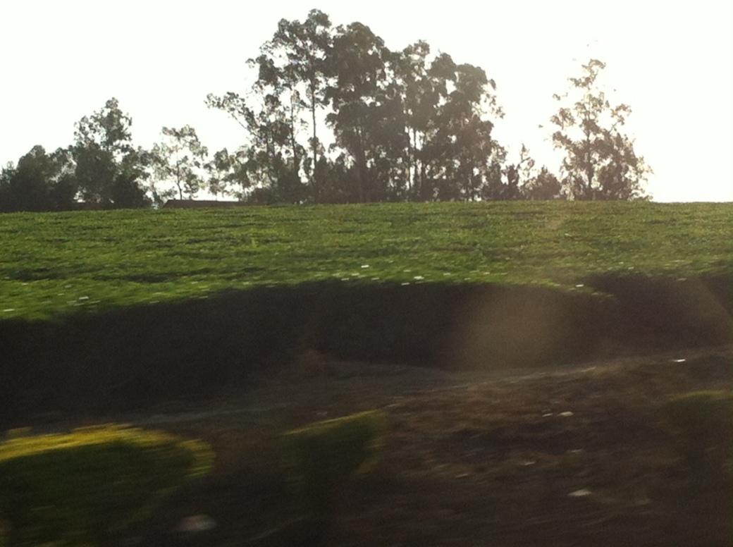 tea-plantation-lugazi