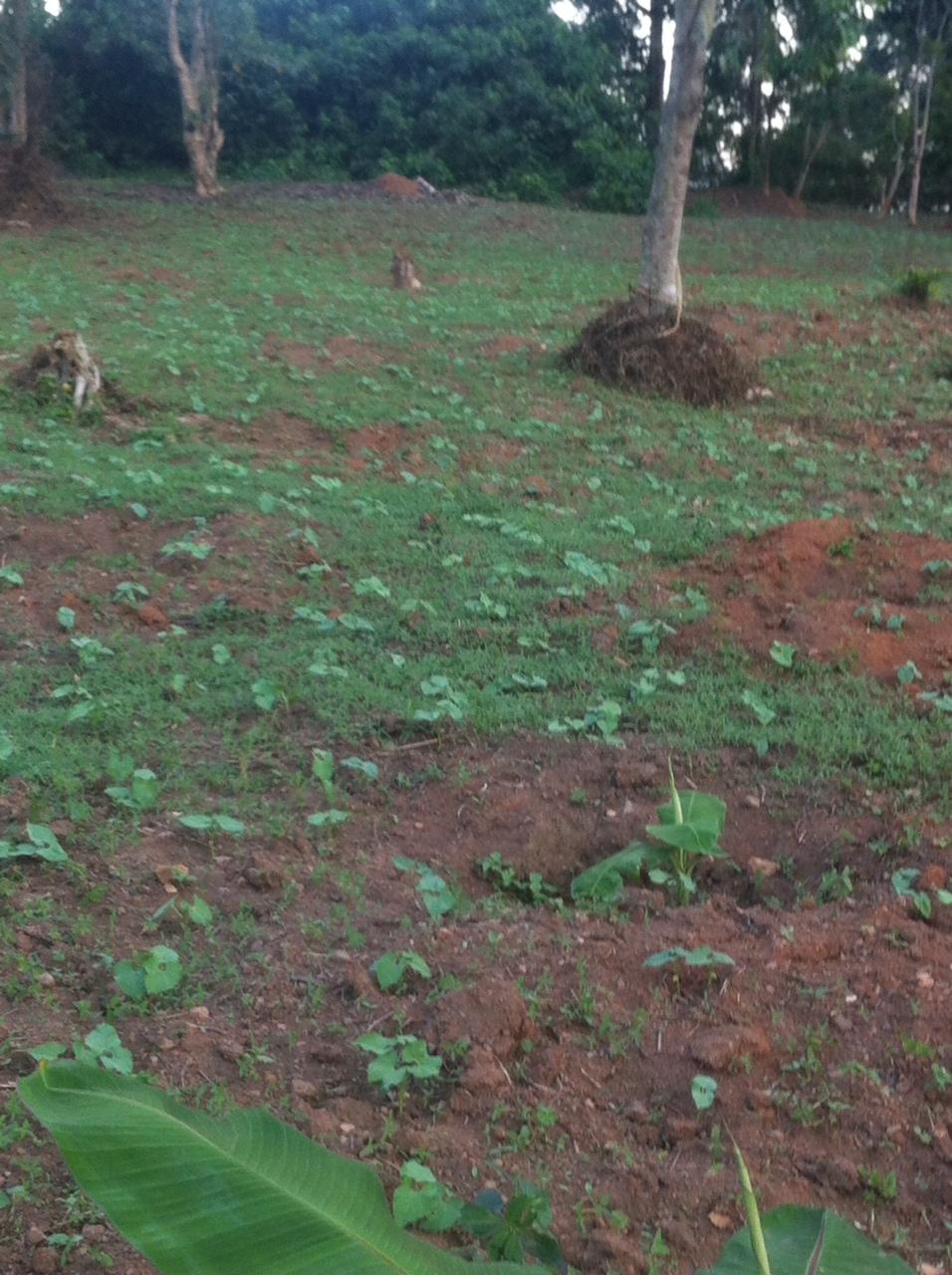 Bean planting
