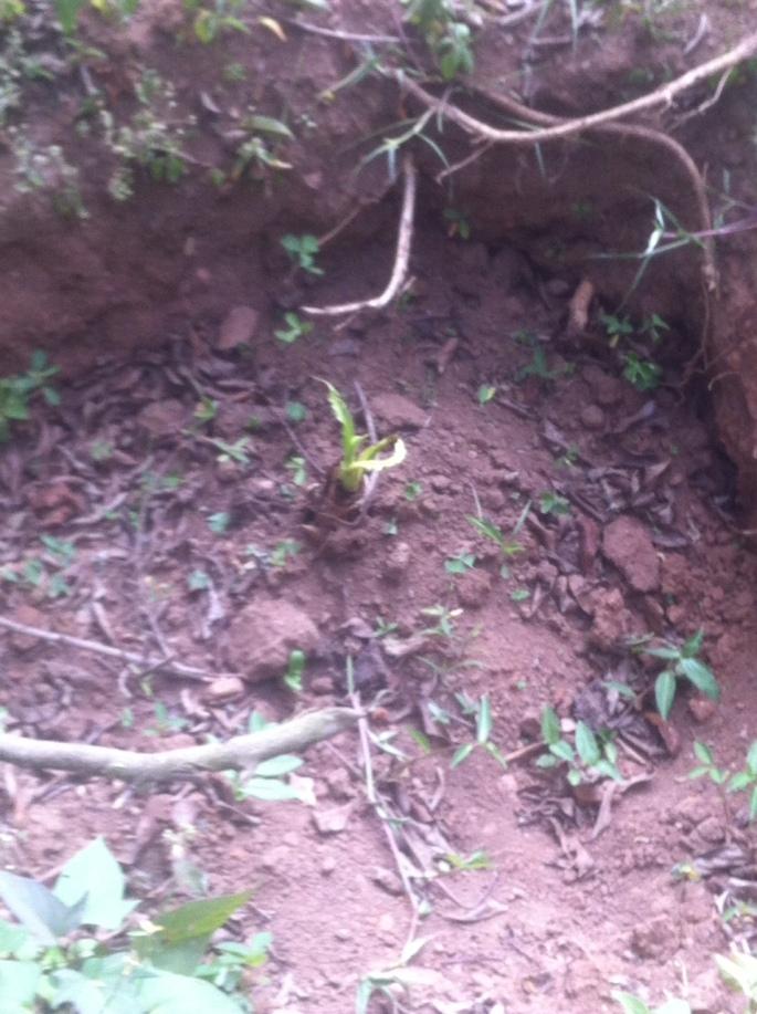 Matooke plant germinating